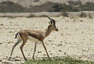 Israeli animals